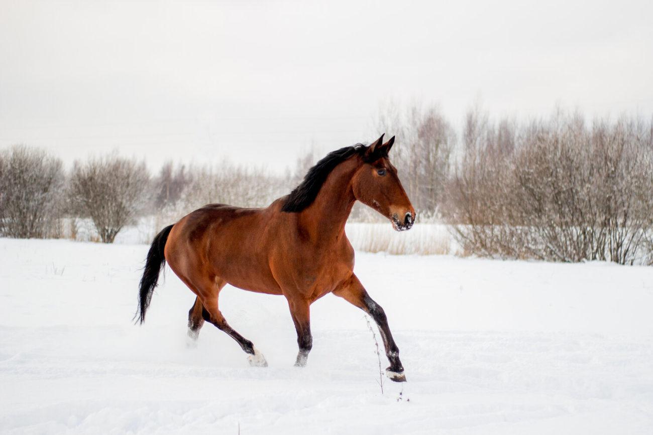 les chevaux en hiver